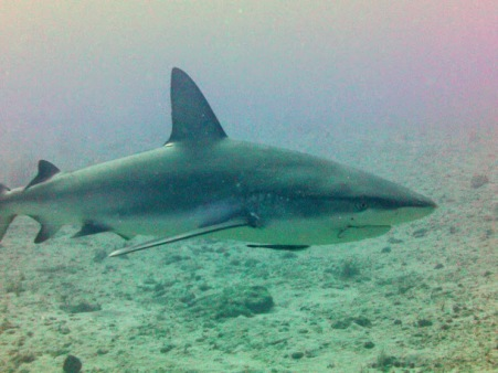 Shark dive 026